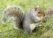 Cute squirrel eating a nut — Stock Photo