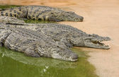 Three African nile crocodiles — Stock Photo