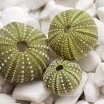 Sea urchin shells on pebbles — Stock Photo