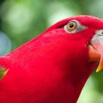papagaio vermelho com asas verdes closeup — Foto Stock