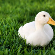 White duck on a green lawn - Stock Photo