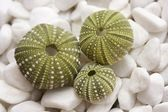 Sea urchin shells on pebbles — Stock Photo