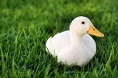 White duck on a green lawn — Stock Photo