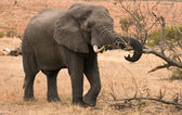 African elephant feeding on tree branches — Stock Photo