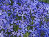 Blaue blumen — Stockfoto