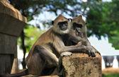 Couple of monkeys — Stock Photo
