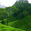 Ceylon tea — Stock Photo