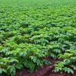 Royalty-Free Stock Photo: Potato plants