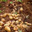 Potato field — Stock Photo