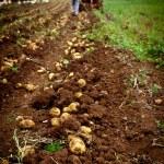 Potato field — Stock Photo #5778851