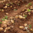 Potato field — Stock Photo #5778862