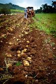 Aardappel veld — Stockfoto