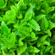 Mint background — Stock Photo