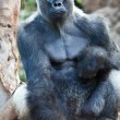 Stock Photo: Big Gorilla