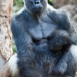 Royalty-Free Stock Photo: Big Gorilla