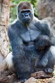 Big Gorilla — Stock Photo