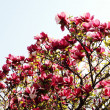 Large magnolia — Stock Photo
