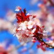 Cherry tree blossom — Stockfoto