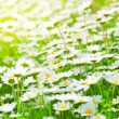 Spring field of daisies — Stock fotografie