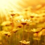 Daisy flower field over sunset — Stock Photo