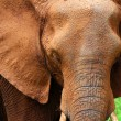 Closeup portrait of African elephant - Stock Photo
