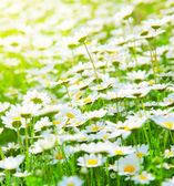 Frühling-Feld der Gänseblümchen — Stockfoto
