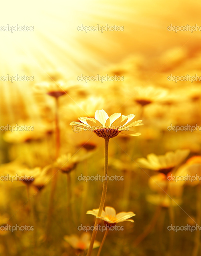 Fresh daisy flower field background at sunny spring day, sunset macro outdoor scene  — Stock Photo #5388483