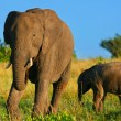 Elephants in the wild — Stock Photo #5392820