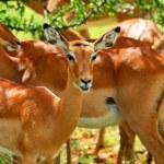 Wild antelope — Stock Photo