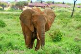 Elephant in the wild — Stock Photo