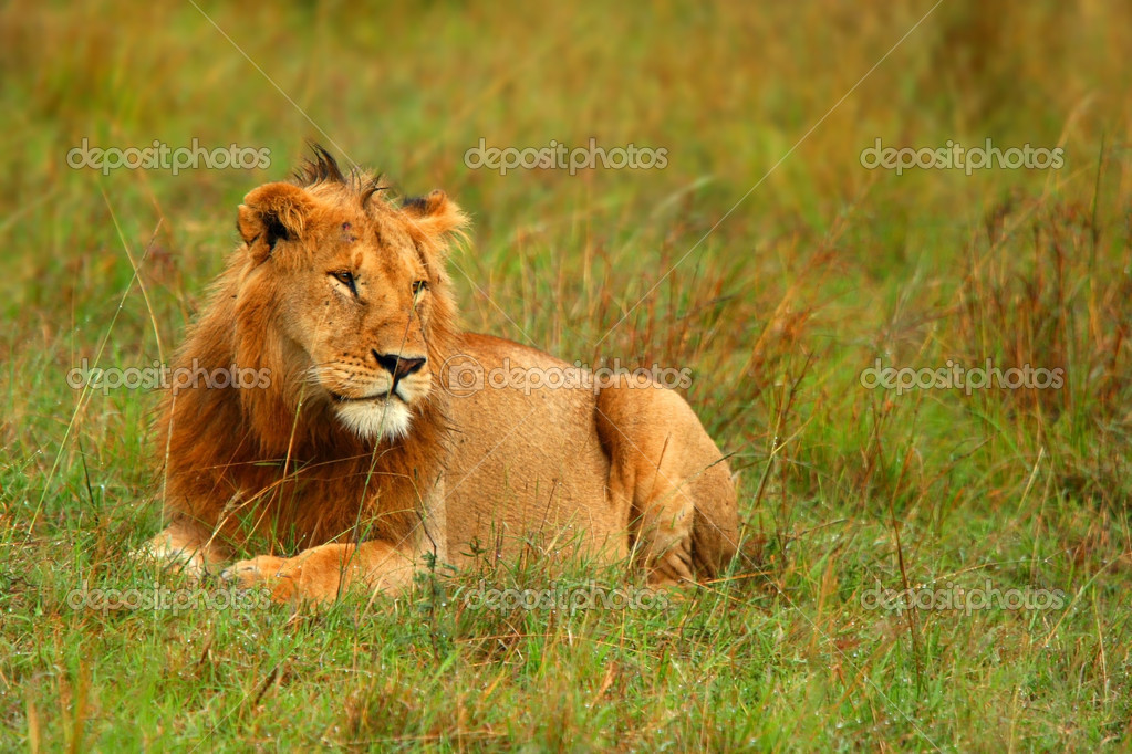 Portrait of young wild african lion. Africa. Kenya. Masai Mara — Stock Photo #5392775