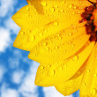 Stock Photo: Wet yellow flower background