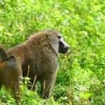 Monkey in the wild — Stock Photo