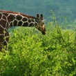 Giraffe in the wild — Stock Photo