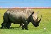Rhinoceros in the wild — Stock Photo