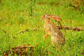 Wild Hare — Stock Photo