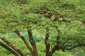 Leopard on the tree — Stock Photo