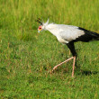Secretarybird — Stock Photo