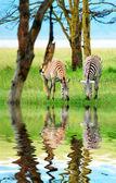 Dziki zebry — Zdjęcie stockowe
