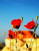 Poppy bloemen weide — Stockfoto