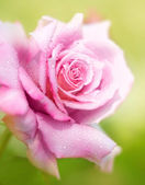 Fresh pink rose — Stock Photo