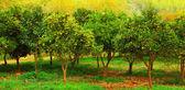 Drzew mandarynkowych — Zdjęcie stockowe