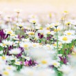 Daisy field — Stock Photo #5628162