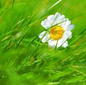 Abstract daisy background — Stock Photo
