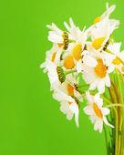 Fresh daisy flowers — Stock Photo