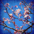 Cherry tree blossom — Stock Photo #5692102