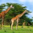 Family of wild giraffes — Stock Photo #5692200