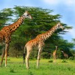 Royalty-Free Stock Photo: Family of wild giraffes