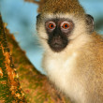 Portrait of monkey in the wild — Stock Photo