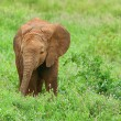 Baby Elephant in the wild — Stock Photo